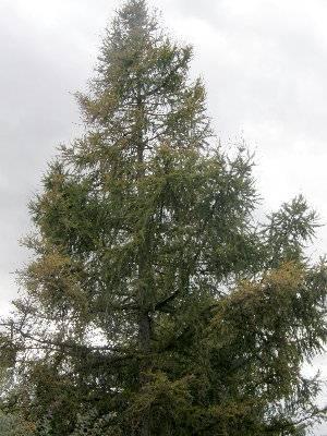 Strom modřín